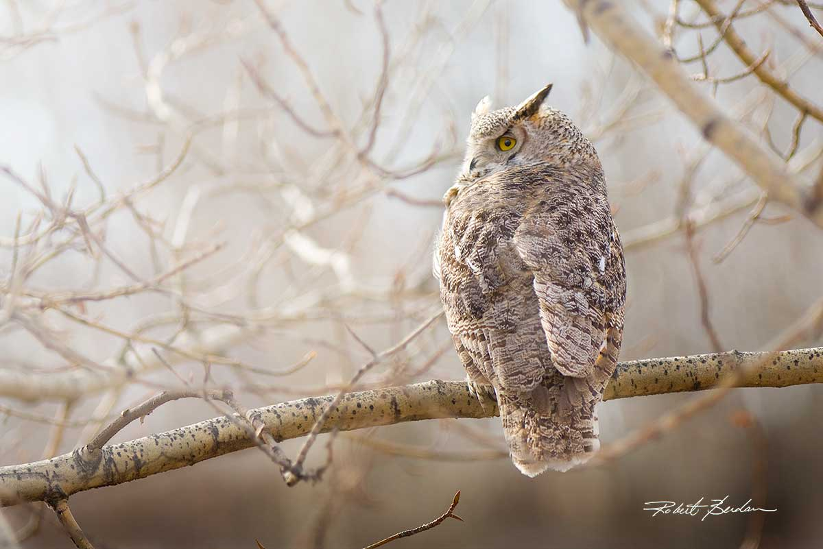 Greay Horned owl by Robert Berdan ©